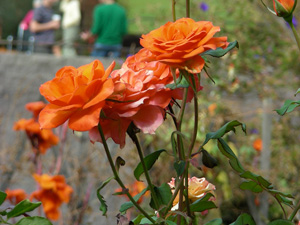 Getty - Orange Roses